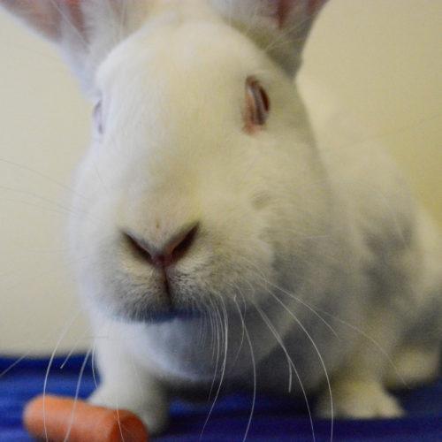 Hazelnut the white bunny